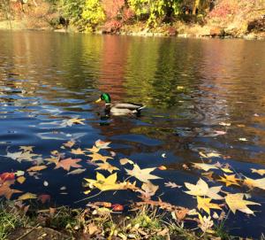 Central Park Mallard_CFK